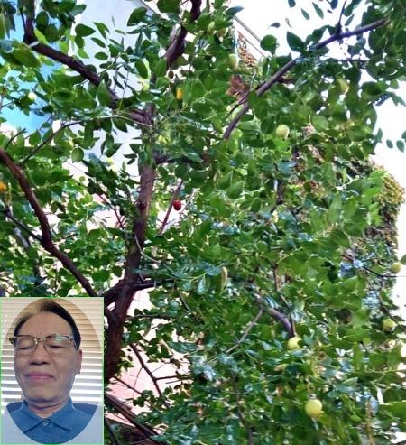 대추나무-450--사진삽입-타원.jpg